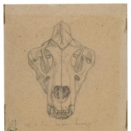 Estudio del cráneo de un león (Nuestra Señora de Fourvière, Lyon)