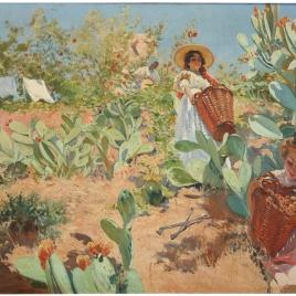 Recolección de higos chumbos en Granada