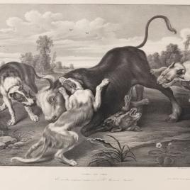 Toro rendido por perros